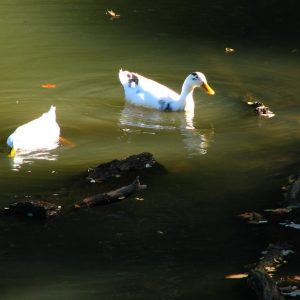 ducks on the pond-2